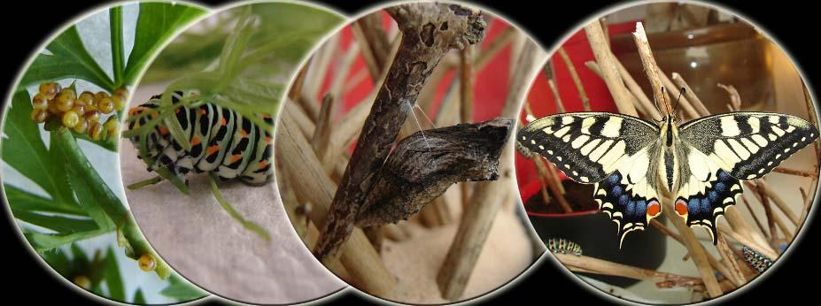 koninginnenpage-metamorfose-kweken